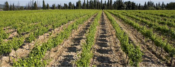 Campaign vineyard